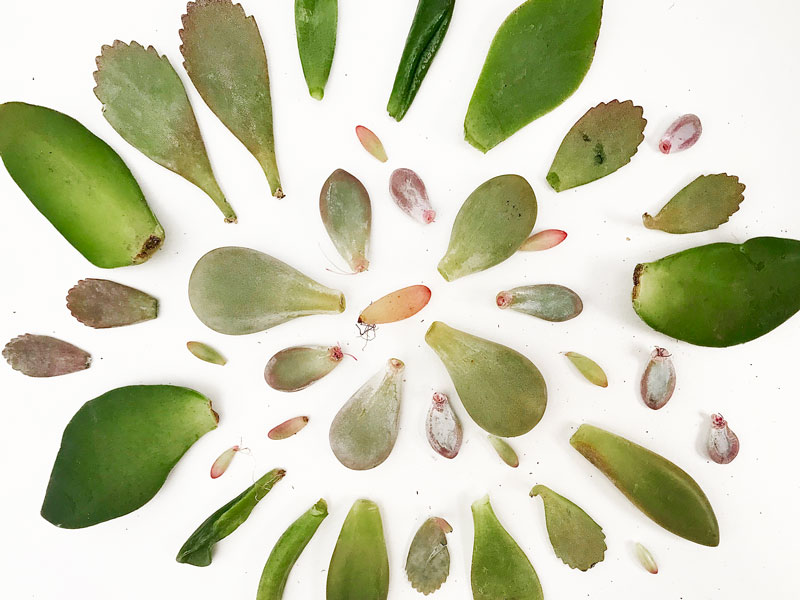 early-bird-botanical-propagating-succulents-easy