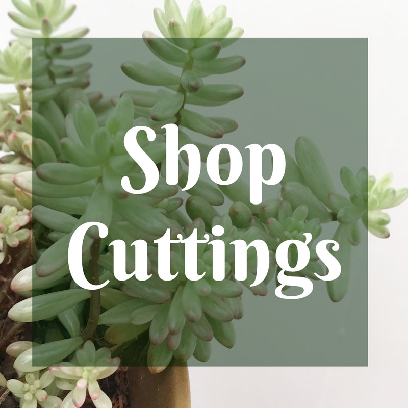 shop-cuttings---1---early-bird-botanical---succulents